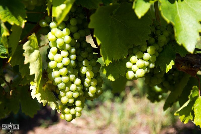 Arvay winogrona