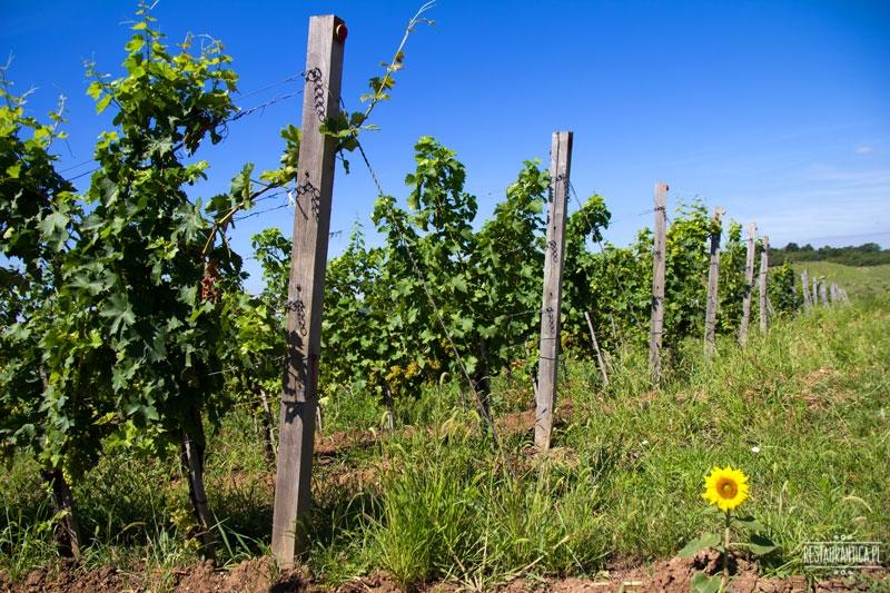 Arvay winnica, Tokaj, krzewy winne, słonecznik, węgry